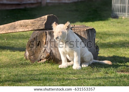 Young White Lions are playing with their parents