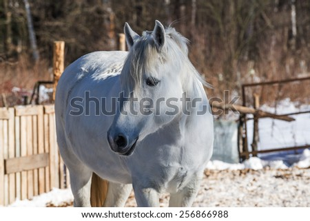 Young white mare closeup with an expressive face and textured mane illuminated sliding beams of low winter sun - stock photo