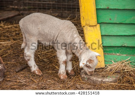 young white sheep lamb in farm - stock photo
