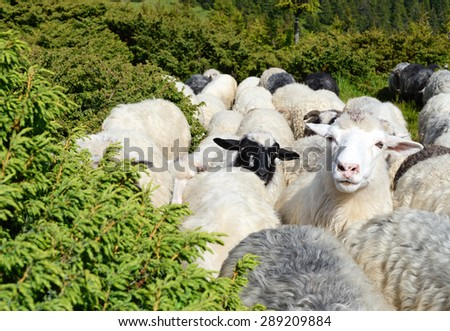 Young white sheep on pasture among juniper - stock photo