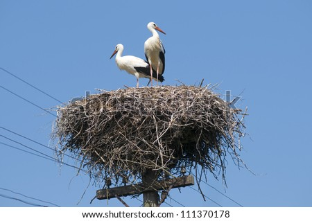 Young white storks on the nest (Ciconia ciconia) - stock photo