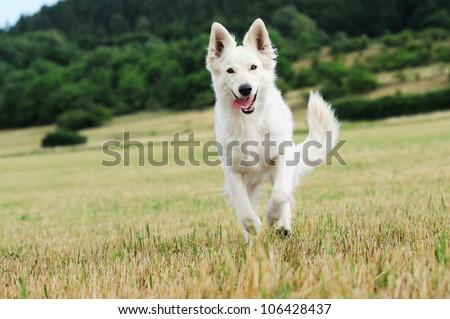 young White Swiss Shepherd runs in the meadow