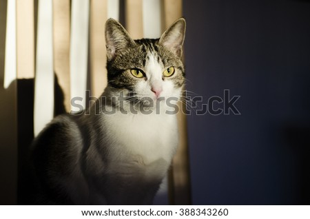young white tabby with yellow eyes