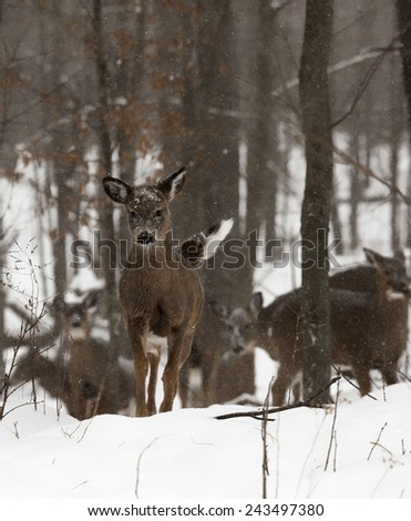 Young white-tailed deer fawn boldly leaves the herd.  Winter in Wisconsin - stock photo