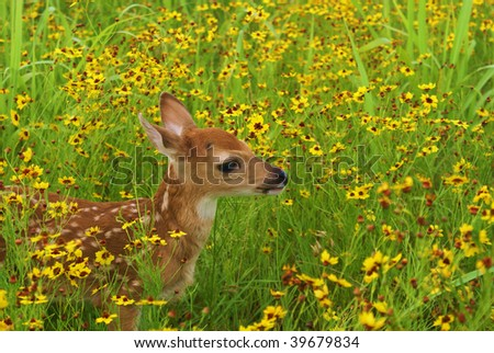 Young whitetail fawn in field with flowers - stock photo