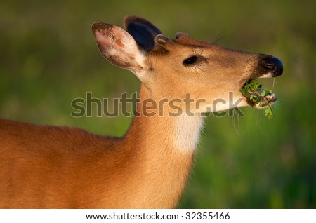 Young Whitetail male deer enjoying fresh grass in forest meadow at Shenandoah National Park - stock photo