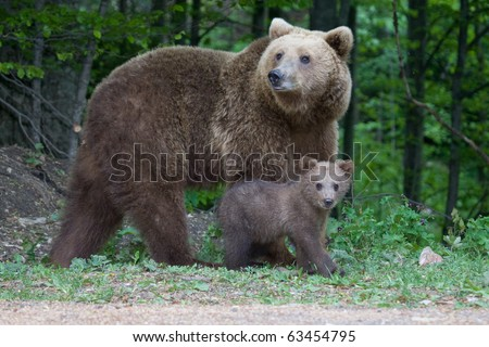 Young wild bear in the forest near Sinaia, Romania. Here bears got used to be fed by tourists and this became a problem both for humans and bears. - stock photo