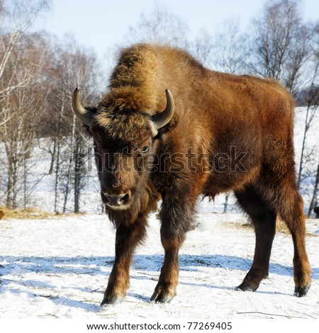 Young wild bisons in the winter forest - stock photo
