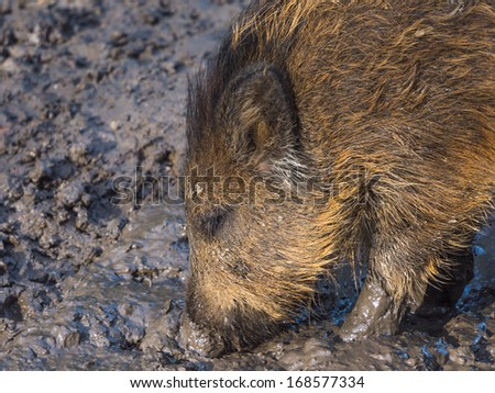 Young wild boar looking for food in a mud pool