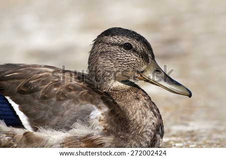 Young Wild Duck female resting  - stock photo