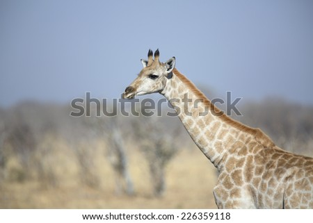 Young wild female giraffe in the african savannah  - stock photo
