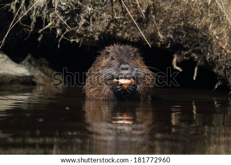 Young wild nutria in water. Transition Winter-Spring - stock photo