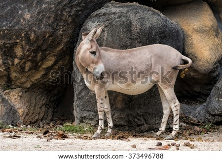 Young Wild Somali Ass - stock photo