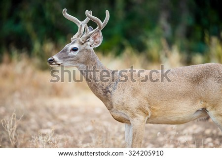 Young Wild South Texas Whitetail deer buck in velvet