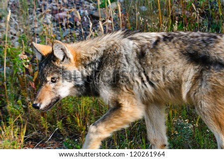 Young wild timber wolf, Waterton National Park Alberta, Canada - stock photo