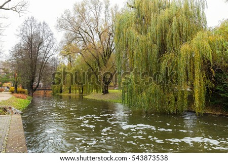 Young willow over the fast stream in the city park