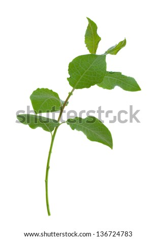 young willow tree  sprout isolated on white background