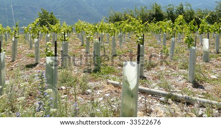 young wine branch with protection