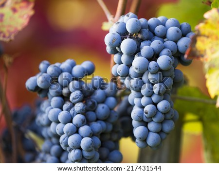 Young wine grapes on vineyard, close-up - stock photo