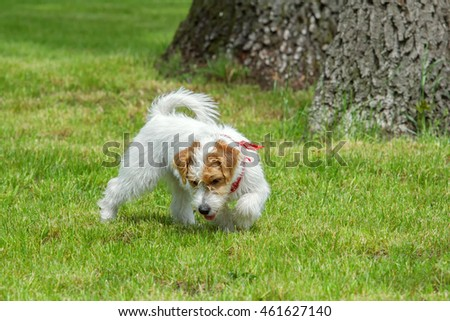 Young wire-haired dog playing outdoors. Cute Jack Russell Terrier puppy on a summer meadow in a park.
