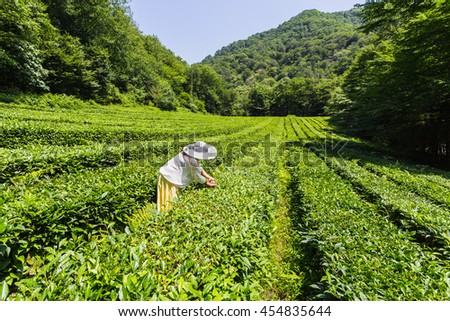 Young woman collecting tea in the plantation on the Black Sea coast of the Caucasus - stock photo