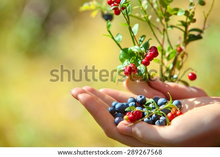 Young woman hand with blueberry and lingonberry bush. On green grass field background. - stock photo