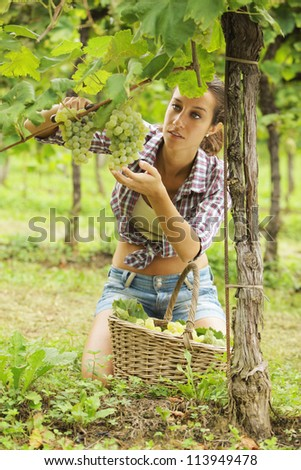 Young woman harvesting prosecco white grapes in a vineyard - stock photo