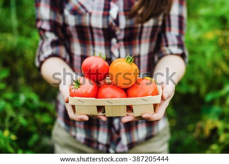 Young woman holding tomato harvest in her hands at greenhouse - stock photo