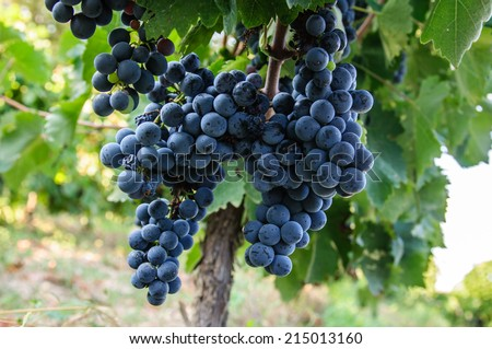 Young woman picking grapes at vineyard - stock photo