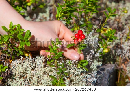 Young woman picking lingonberry in forest close-up view. - stock photo
