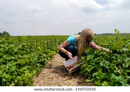 Young woman picking Strawberries at a farm during summer