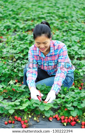 young woman picking strawberry outdoor - stock photo