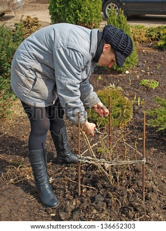 Young woman pruning rose plant in flower bed