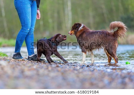 young woman with an Australian Shepherd and a Labrador puppy at the river