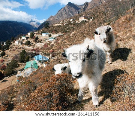 young yaks and Portse village - way to Everest base camp � Nepal - stock photo