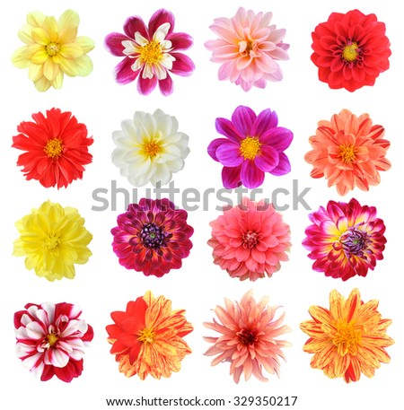 young yellow chrysanthemum dahlia isolated on white