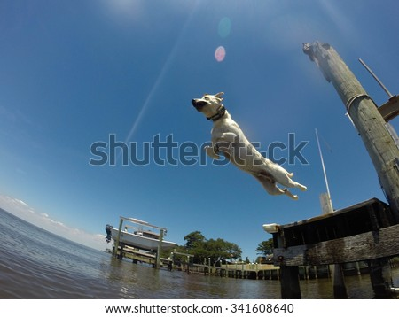 Young yellow Labrador jumping off a pier into water at a beach.  - stock photo