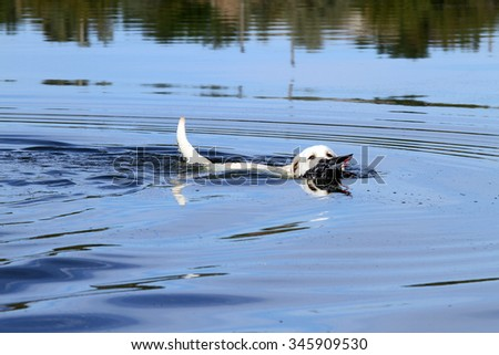 young yellow Labrador retriever retrieving a duck in the pond