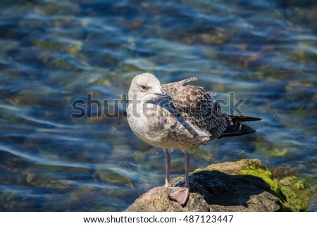 Young yellow-legged gull standing on rock next to sea #7
