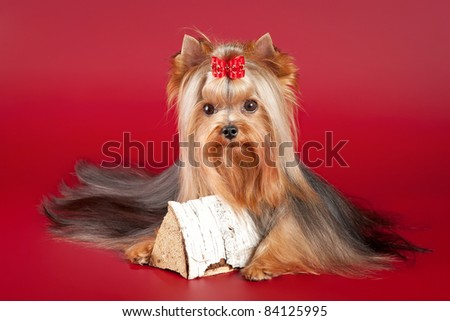 Young Yorkie with log on dark red background