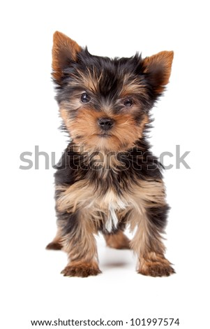 Young yorkshire looking at the camera on a white background. - stock photo