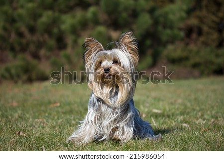 Young Yorkshire terrier is sitting on lawn. The dog has a protruding tongue.