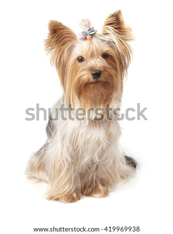young Yorkshire Terrier isolated over white background - stock photo