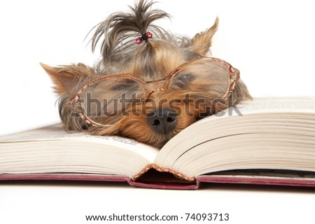Young Yorkshire Terrier on open book over white background - stock photo