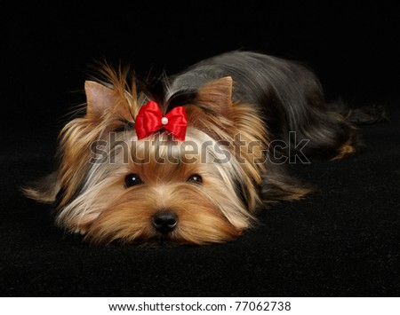Young Yorkshire Terrier on the black background