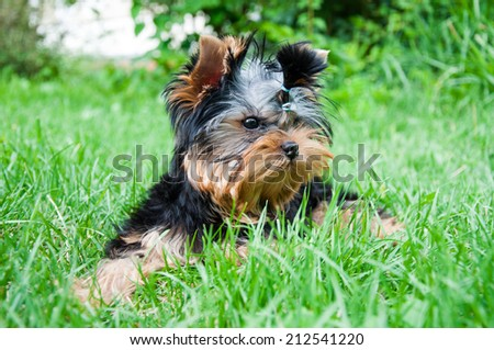 Young yorkshire terrier on the grass, outdoors - stock photo