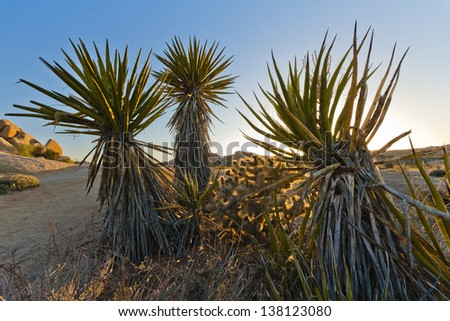 Young Yucca Trees at Sunset in Joshua Tree National Park