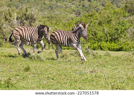 young zebra chasing each other during some playful time  - stock photo