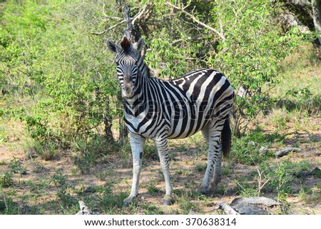 Young Zebra in South Africa - stock photo