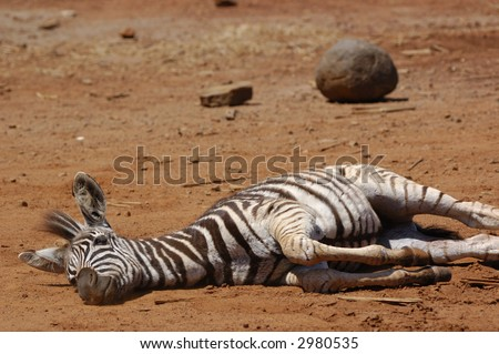Young zebra lying down 2 - stock photo